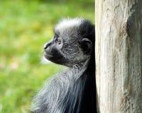 Colobus Monkey. A colobus monkey leans on a tree Royalty Free Stock Photos