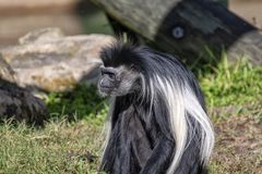 A Colobus Monkey. A long hair Colobus monkey royalty free stock photography