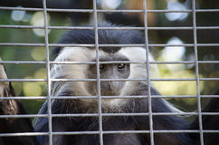 Colobus Monkey looking at people through the cage Stock Photography