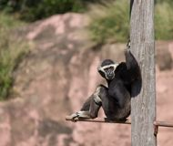 Colobus monkey lounging on a pole Royalty Free Stock Images