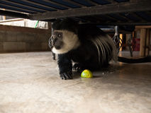 Colobus monkey with a maracuya. Is hiding under the bed Royalty Free Stock Photography