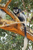 Colobus monkey Stock Photo