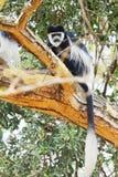 Colobus monkey, Nakuru Lake Royalty Free Stock Photography