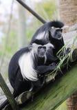 Colobus Monkey Pair Stock Image