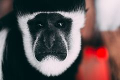 Colobus Monkey Portrait royalty free stock photo
