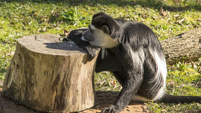 Colobus monkey resting Stock Images