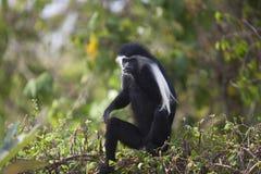 Colobus Monkey Royalty Free Stock Image