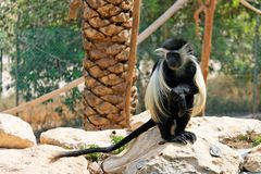 Colobus monkey sitting under the palm-tree Stock Images