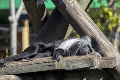 Colobus Monkey Sunning Himself. Closeup of a Colobus monkey sunning himself royalty free stock photos