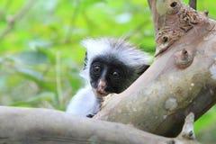 Colobus monkey Royalty Free Stock Photos