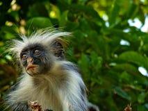 Colobus monkey. In zanzibar island Tanzania stock images