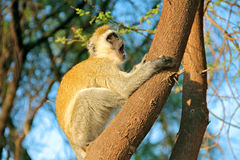 Colobus monkey. In zanzibar island Tanzania stock photos