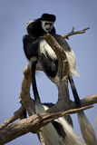 Colobus monkeys. Mantled Guereza monkeys, Colobus guereza stock photography