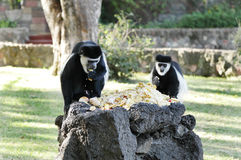 Colobus monkeys eating food Royalty Free Stock Image