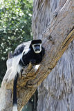 Colobus monkeys Stock Photography