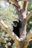Colobus monkeys Stock Image
