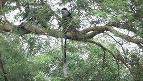 Colobus monkeys walking over tree branch in slow motion. Super slow motion of Colobus monkeys walking over branch in the trees stock video footage