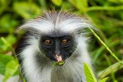 Colobus rosso di Zanzibar, scimmia Fotografia Stock Libera da Diritti
