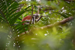 Colobus vermelho de Zanzibar - kirkii de Piliocolobus, Tanzânia, Zanzibar foto de stock royalty free