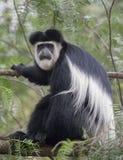 Colobusaffe, der auf einem Baumast am See Naivasha sitzt Lizenzfreies Stockbild