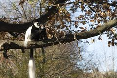 Colobusaffen Colobus guereza Stockfoto