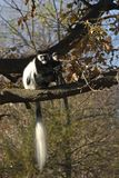 Colobusaffen Colobus guereza Stockbilder