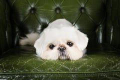 Colocação do cachorrinho do pequinês Foto de Stock Royalty Free