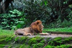 Colocação do leão Fotografia de Stock Royalty Free
