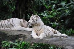 Colocação do tigre Imagens de Stock