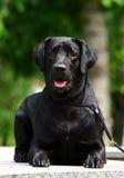 Colocação preta de Labrador Fotografia de Stock Royalty Free