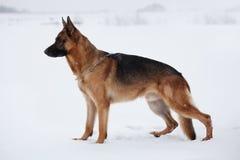 Colocación cuidadoso que anticipa del pastor en nieve fotografía de archivo