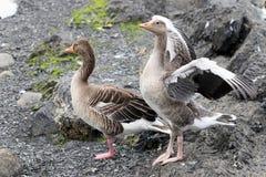 Colocación de dos gansos Fotografía de archivo