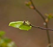 Colocación de la mariposa del azufre Foto de archivo libre de regalías
