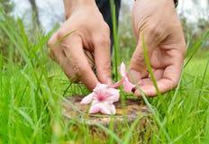Colocación de las flores rosadas en el tocón Foto de archivo