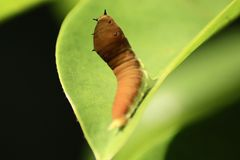 Colocación de las hojas de Caterpillar Fotografía de archivo
