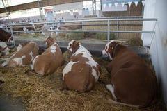 Colocación de las vacas Fotografía de archivo libre de regalías