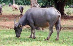 Colocación de los búfalos Imagen de archivo