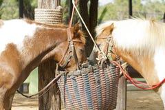 Colocación de los caballos Fotografía de archivo
