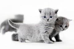 Colocación de ojos azules de los gatos del bebé Shorthair británico Fotografía de archivo