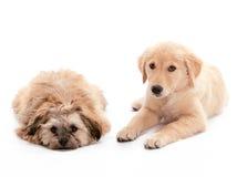Colocación de perritos fotografía de archivo