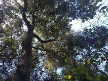 Colocación debajo de los árboles grandes de California Imágenes de archivo libres de regalías