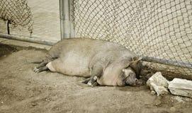 Colocación del cerdo Fotografía de archivo libre de regalías