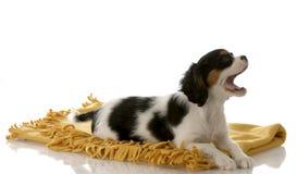 Colocación del descortezamiento del perrito en la manta Foto de archivo libre de regalías