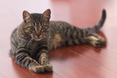 Colocación del gato siamés foto de archivo libre de regalías
