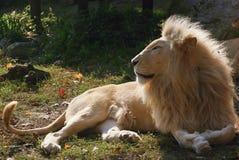 Colocación del león Fotografía de archivo