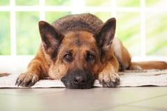 Colocación del perro de pastor alemán fotos de archivo libres de regalías