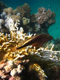 Colocación en el coral Fotos de archivo libres de regalías