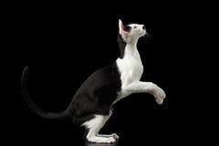 Colocación en el gato oriental blanco y negro de las piernas aislado en negro Imágenes de archivo libres de regalías