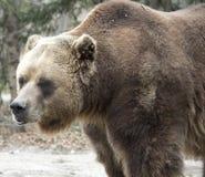 Colocación femenina del oso grizzly Imágenes de archivo libres de regalías