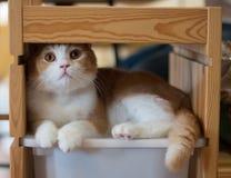 Colocación sí mismo del gato en un estante de madera Imagen de archivo libre de regalías